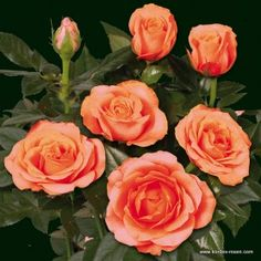 Aloha Kordana® Miniature Roses from Kordes: Long blooming period & low maintenance roses that are great for containers! #gardening #plants #flowers
