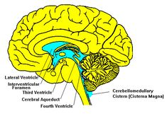Ventricles and Cerebrospinal Fluid
