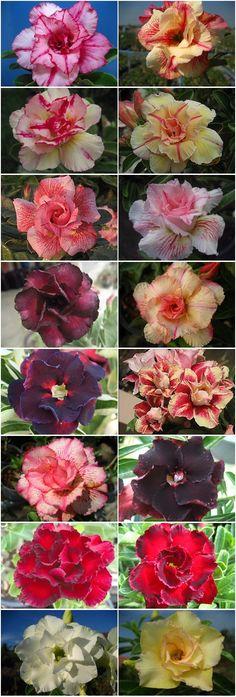 Rosy Adenium Thailand
