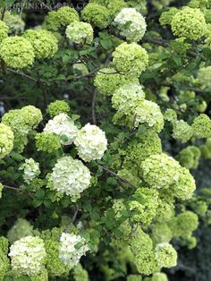Gorgeous green Viburnum at The Dallas Arboretum. Dallas Arboretum, White Gardens, Container Plants, Botanical Gardens, The Great Outdoors, Hydrangea, More Fun, Beautiful Flowers, Bloom