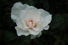 Google Afbeeldingen resultaat voor http://www.tuinenzo.nl/plantenwebsite/wit/sneeuwwitje%20roos%20156%20(Small).jpg