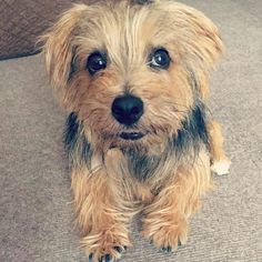 #dog #norfolkterrier #chien #fluffypack #perro #dogfeatures #pawstruck #ilovedogs #bestwoof #terriers #instadaily #dogvacay #fluffy #terrier #thatface #animallovers #cutie #petbox #tflers #doggy #cutedog #life #dogoftheday #pets_of_instagram #animal