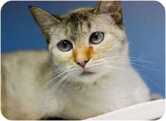 2/3/17 * Dallas, TX - Siamese. Meet NADINE, a cat for adoption. DOB 9/2007  Pretty Nadine was adopted in March 2008, but once declawed, her new owner didn't like her any more so returned her to the shelter. (A word of warning if you want to declaw: it often changes the cat's personality, including making them aggressive -- they bite when they can no longer defend themselves with claws.) http://www.adoptapet.com/pet/2163145-dallas-texas-cat