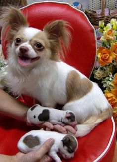 Photos: Chihuahua Born with Heart-Shaped Spots « Mix 104.1