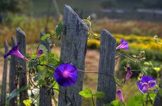 Morning Glories ~ Morning glories in a garden at Brenegar Cabin on the Blue Ridge Parkway in the North Carolina. The cabin is an old pioneer home which has been preserved as a scenic attraction on the parkway. Pretty Flowers, Wild Flowers, Simple Flowers, Spring Flowers, Country Fences, Rustic Fence, Love The Earth, Fence Gate, Garden Gates