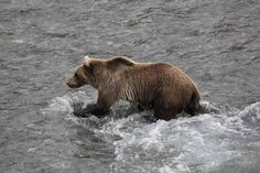 I took this photo of a bear on Aug. 24, 2012 at Savage River in Denali Park. Sister Dorothy Giloley, Fairbanks