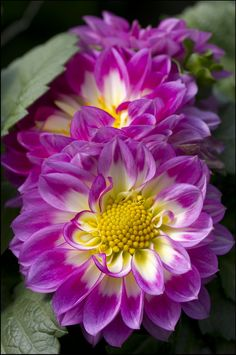 Dahlias...I really do love the beautiful shades they can be and this purple/white combo is just gorgeous