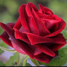 Rosa Roja... ünicas!!!