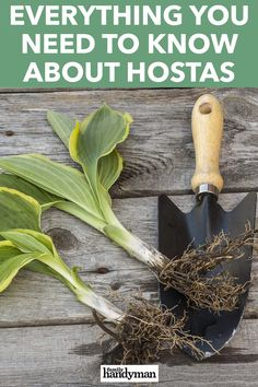 Everything You Need to Know About Hostas - - Everyone with shade in their garden knows the value of hostas, but not everyone knows how to landscape with these beautiful and beloved perennials. Here are some tips. Shade Garden Plants, Hosta Plants, Sun Perennials, Shaded Garden, Diy Herb Garden, Lawn And Garden, Garden Ideas, Garden Projects, Garden Art