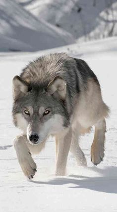 Grey Wolf (Canis lupus) 'Hunting The Prey. Wolf Images, Wolf Photos, Wolf Pictures, Animal Pictures, Wolf Love, Beautiful Wolves, Animals Beautiful, Animals And Pets, Cute Animals