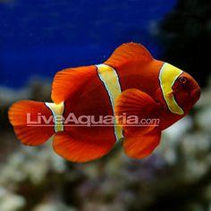 Yellow Stripe Maroon Clownfish (if Saltwater Aquarium Fish, Saltwater Tank, Home Aquarium, Reef Aquarium, Gold Stripes, Yellow Stripes, Two Fish, Marine Fish, Mundo Animal