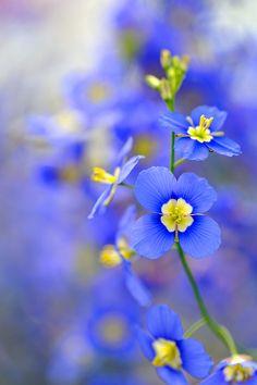 ~~Blue ~ Heliophila longifolia by myu-myu~~