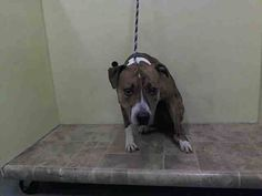 TO BE DESTROYED 8/26/14 Manhattan Center   My name is TIGER. My Animal ID # is A1011513. I am a male br brindle and white pit bull mix. The shelter thinks I am about 2 YEARS   I came in the shelter as a OWNER SUR on 08/22/2014 from NY 10456, owner surrender reason stated was NO TIME.