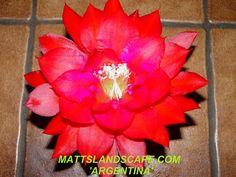 Epiphyllum hybrid 'Argentina'