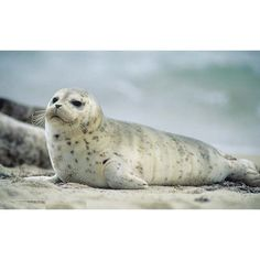 Harbor seal pup in beach