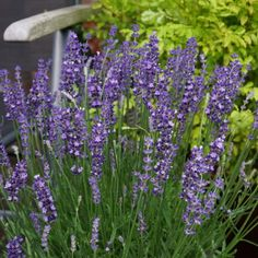 Lavendula Big Time Blue Flower in a Patio Pot - great for bee-friendly in a Pollinator Garden - National Garden Bureau
