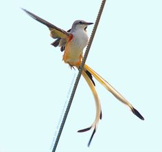 Scissor-tailed Flycatcher Elegant Turn - Photograph Copyright 2011 by J R Compton. All Rights Reserved. No Reproduction in Any Medium Without Specific Written Permission.