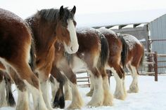 All in  a row farm, draft horses, clydesdale horses, horse barns