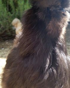 Silkies, the furry chickens! Facebook.com/sactownsilkies