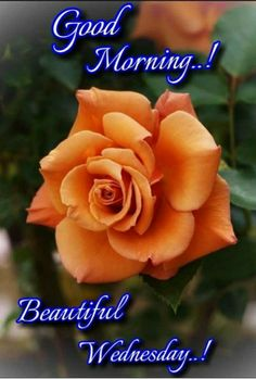 Good Morning Wishes Quotes, Days Of Week, Wish Quotes, Wednesday, Rose, Flowers, Morning Sayings, Pink, Roses