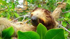 Sloth Sanctuary Roatan Honduras #Honduras #Sloths #traveldiary #expatlife #travelblogger #exploreworld #worldexplorer #nomadlife #nomadic #travel #instatravel #travelgram #tourist #tourism #vacation #traveling #trip #fodorsonthego #iamatraveler #traveladdict#3toedsloth#travelstories#indefinitejourney #instagood #Roatan #instadaily #bestoftheday #igdaily #instalove #igaddict