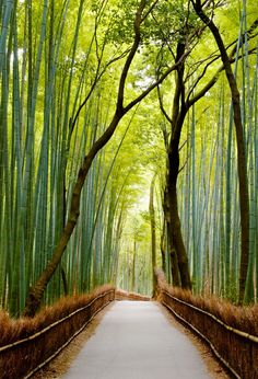Stroll through the Sagano Bamboo Forest in Japan. Located on the outskirts of Kyoto, Japan's Sagano Bamboo Forest is a magical wonderland of towering, verdant bamboo stalks gently moving in the wind, eerily creaking as they collide.