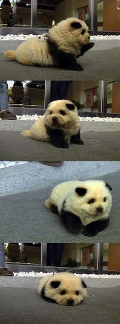 It's a puppy. That looks like a panda. AHH.