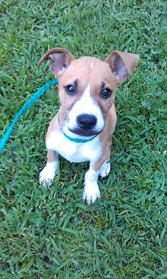 ADOPTED!!! Petfinder Adoptable | Dog | Boxer | Springfield, VA | Cruise