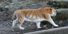 Golden Tiger - A golden tiger, golden tabby tiger or strawberry tiger is a tiger with a color variation caused by a recessive gene. The coloration is a result of captive breeding and does not occur in the wild. Golden tigers also tend to be larger and, due to the effect of the gene on the hair shaft, have softer fur than their orange relatives.