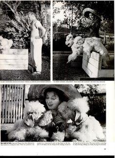 June 23, 1941 Greer Garson's poodles.