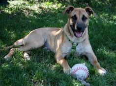 Lucky is an adoptable German Shepherd Dog Dog in Indianapolis, IN. Meet Lucky! He would make a wonderful family dog. He loves kids and enjoys playing fetch! He brings the ball right back and even le...