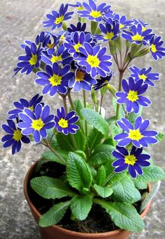 Primula 'Blue Lace Mary' Primrose