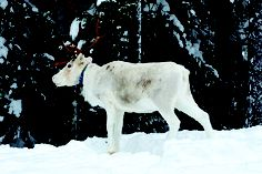 Reindeer in Swedish Lapland #christmas