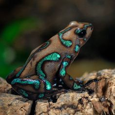 camouflage poisonous dart frog