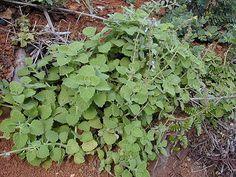 Plectranthus parviflorus