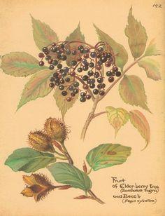 Fruit of Elderberry Tree and Beech