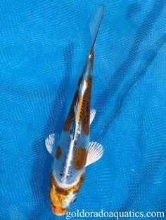 Individual Koi Fish for Sale. Koi Fish For Sale, Kohaku, Black Dragon, Tropical Fish, Ph, Stress, Change, Gold, Animals
