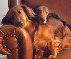 �this is why I love dachshunds so much ~