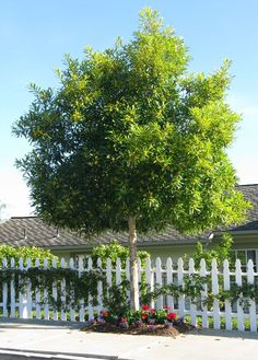 Existing Tristaniopsis laurina - in courtyard and street Backyard Trees, Landscaping Trees, Garden Trees, Front Yard Landscaping, Trees To Plant, Hello Hello Plants, Rainforest Trees, Evergreen Landscape, Trees For Front Yard