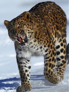 ..The Amur leopard (Panthera pardus orientalis) is one of the rarest and most endangered big cats. There are less than 40 known Amur leopards left in the wild.    altrendo nature/Getty Images..