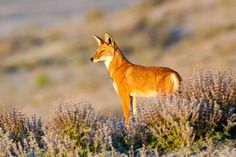 THE ETHIOPIAN WOLF'S JOURNEY FROM DEN TO DISCOVERY OF A NEW WORLD Images by WILL BURRARD-LUCAS Ethiopian wolf pups look out on a new wor