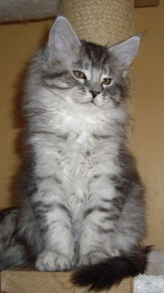 1000 Images About Silver Blue Mainecoon On Pinterest