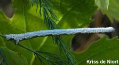 http://faaxaal.forumgratuit.ca/t2123-photos-de-lepidopteres-cidarie-ochracee-cidarie-de-la-balsamine-ecliptopera-silaceata-small-phoenix