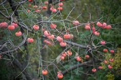 Persimmon (japani phal)