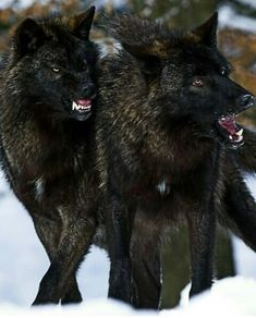 🐺If you Love Wolves, You Must Check The Link In Our Bio 🔥 Exclusive Wolf Related Products on Sale for a Limited Time Only! Wolf Photos, Wolf Pictures, Wolf Spirit, My Spirit Animal, Beautiful Wolves, Animals Beautiful, Tier Wolf, Wolf Hybrid, Wolf World
