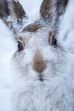 r2d2:  mountain hare by (Susanna Chan)