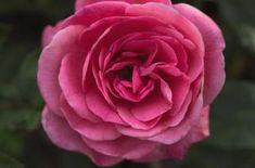 Easy Elegance 'Grandma's Blessing' shrubb  Rose