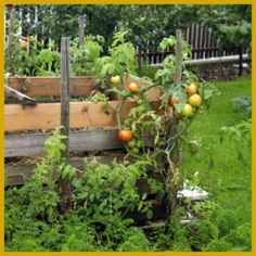 Kompost als Dünger für Ihren Garten verwenden.  Ein Komposthaufen oder Kompostbehälter sollte in keinem Garten fehlen, denn einfacher und besser als mit Kompost als Dünger kann man nicht düngen  http://www.gartenschlumpf.de/kompost-als-duenger/