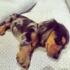 Puppies In Pa Baby Animals Getting Eaten Dachshund Breed, Dachshund Love, Daschund, Dapple Dachshund Puppy, Long Haired Dachshund, Weenie Dogs, Pet Dogs, Pets, Baby Animals
