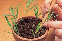 Taking summer cuttings of lavender is so easy. Choose non-flowered shoots of this year's growth